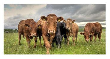 bovino animais desig foto1