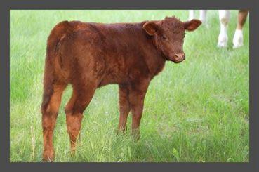 bovino desig vitelo
