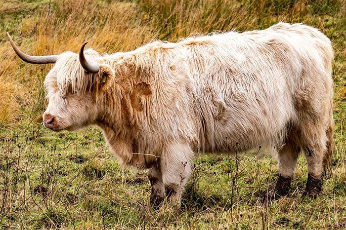 bovino racas longhorn