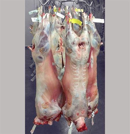 borrego animais abate