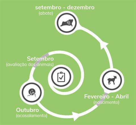 borrego ciclo producao