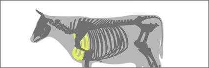 bovino cortes cachaco costelas